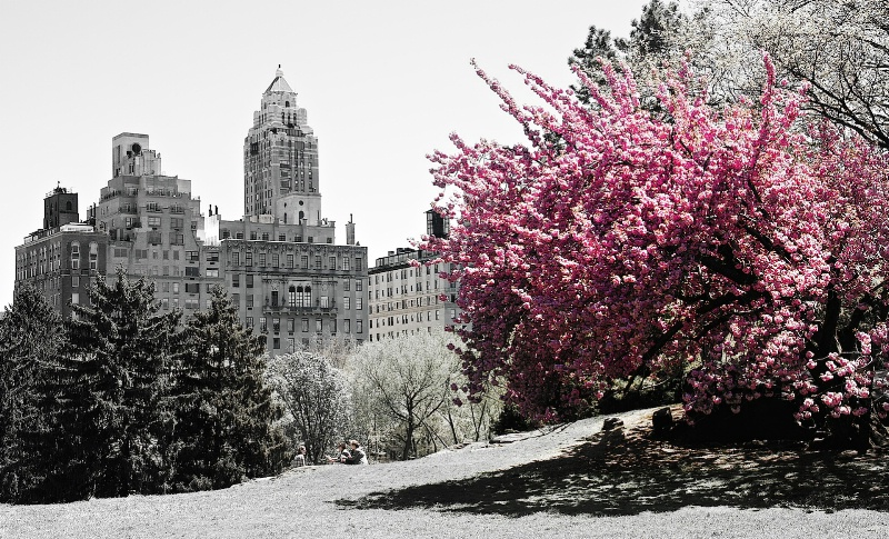 Cherry Tree at Central park
