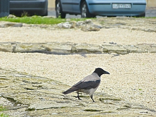 common bird in buda