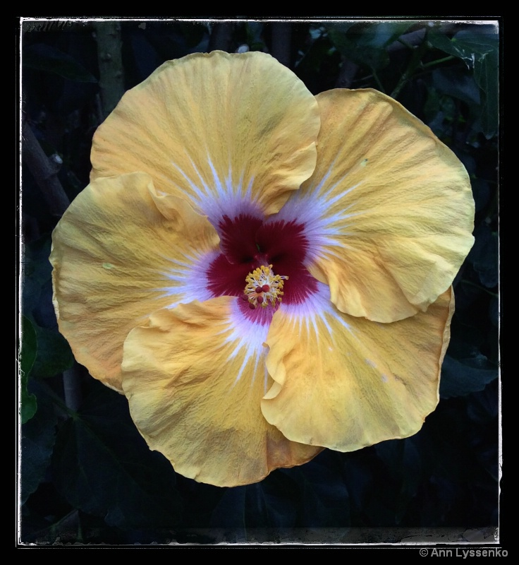 Morning Hibiscus