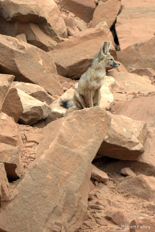 kit fox perched