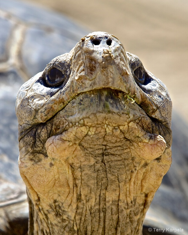 Portrait of a 150 year old Tortoise