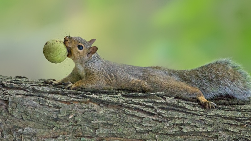 Squirrel and Nut