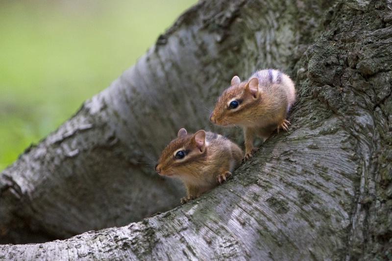 Baby Chipmunks