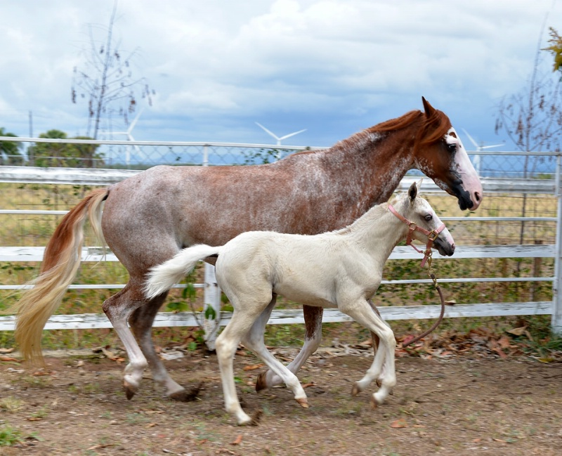 Mare and Palomino Filly