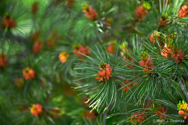 Pine Tree in the Spring !