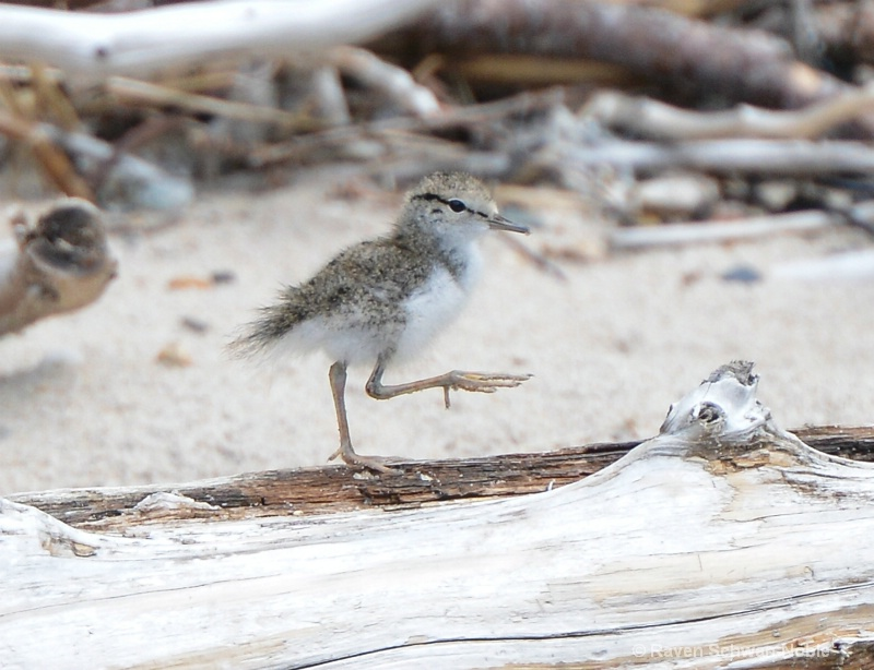 Baby Spotted Sandpiper