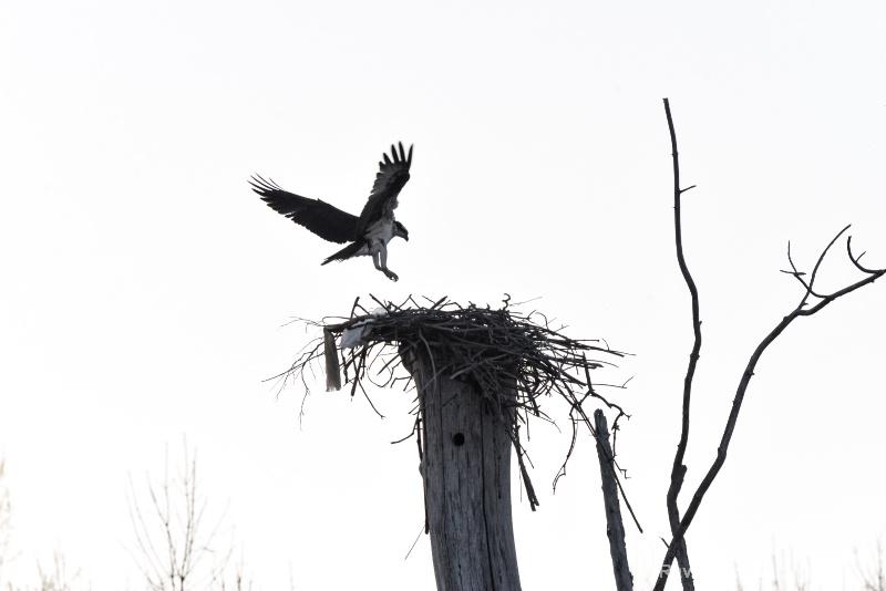 Osprey landing on their nest
