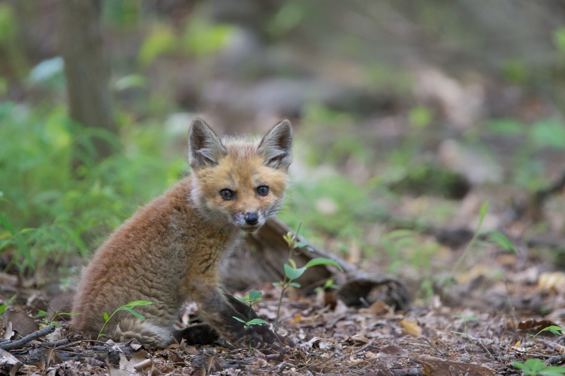 Little Fox in the Woods