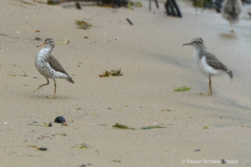Spotted Sandpiper and baby