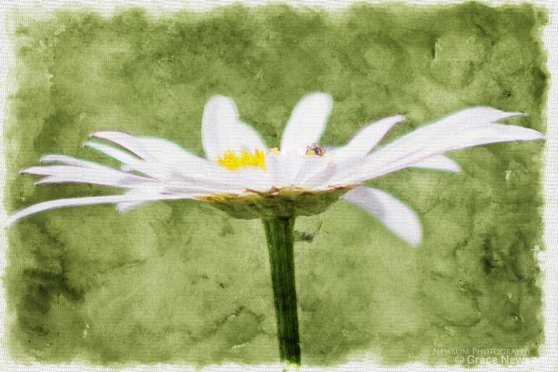 Pastel Daisy