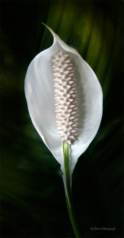 Peace Lily in Florida