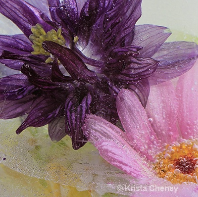 Columbine and pink daisy in ice