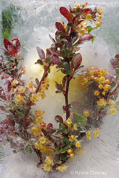 Barberry in ice II