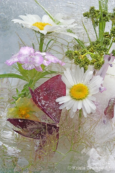 Daisies and oxalis in ice