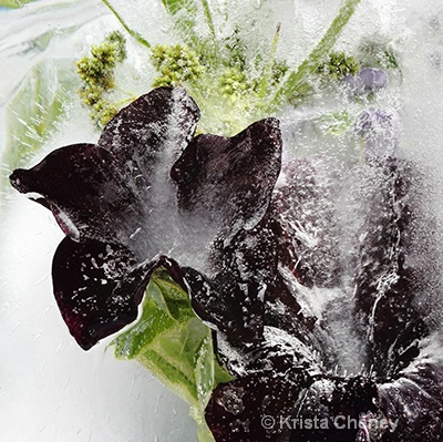 Black petunias in ice