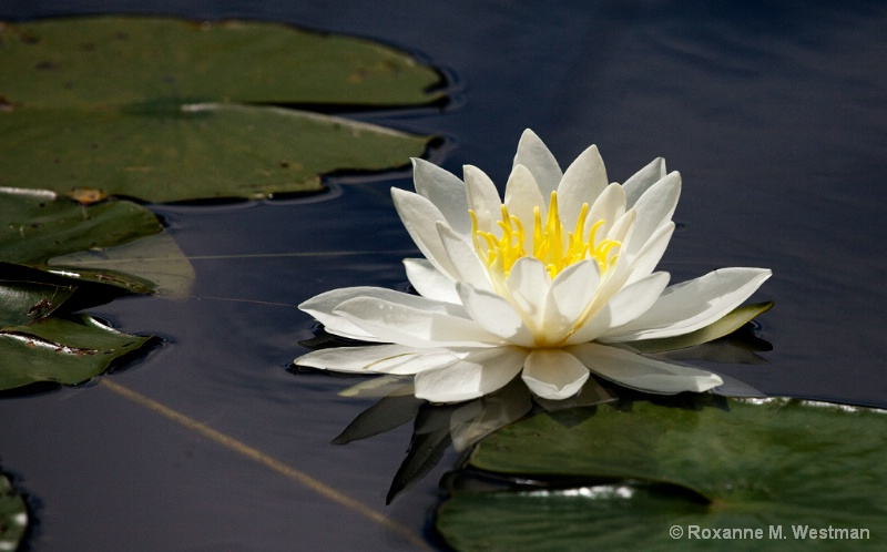 Glorious Waterlily