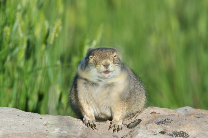 Sneezing Ground Squirrel
