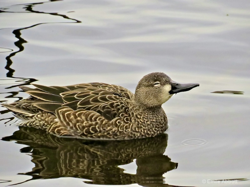Female Green Winged Teal