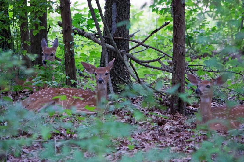 Three Fawns in the Woods