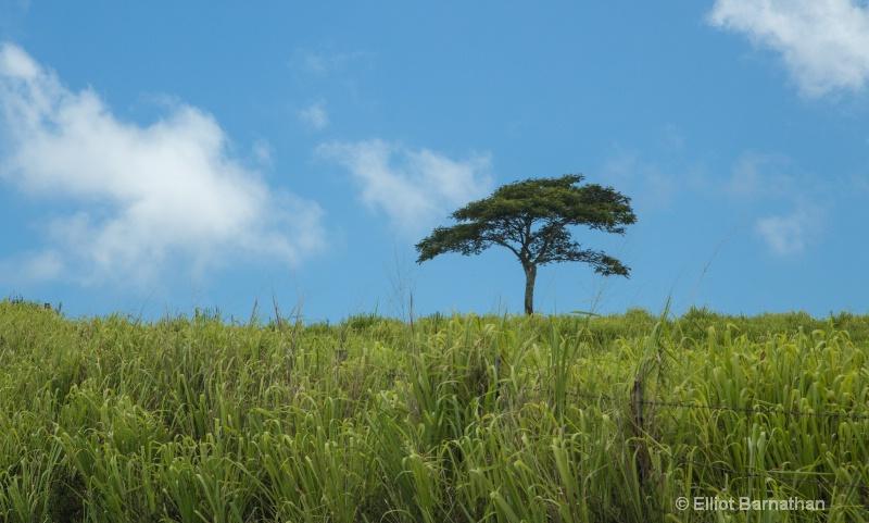Oahu tree