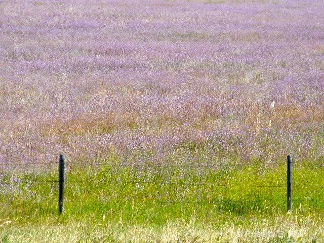 purple fields of majesty