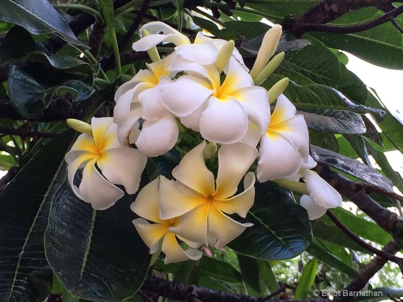 Hawaiian Flowers 20