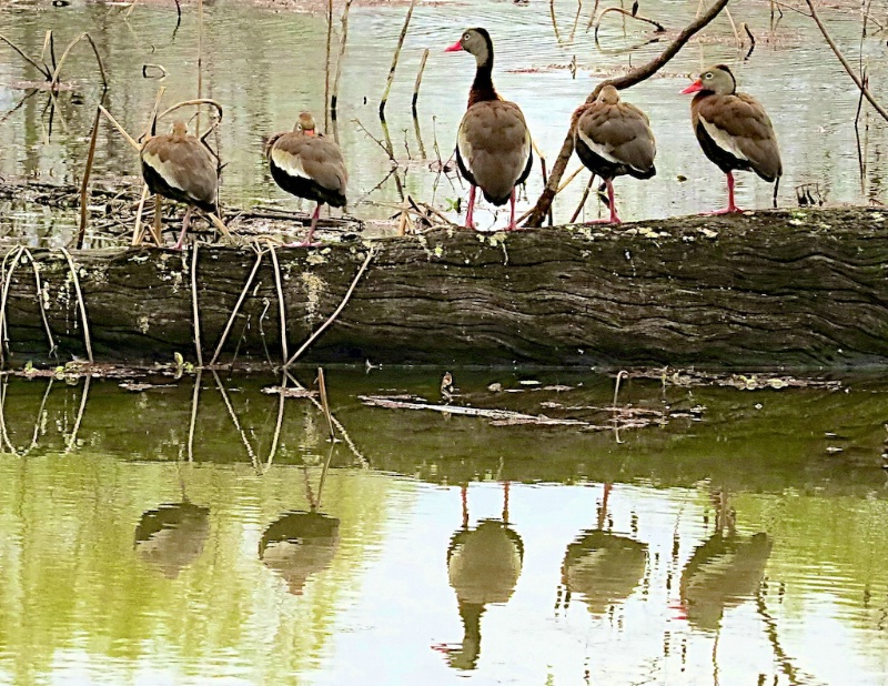 Black Bellied Whistling Ducks on a log
