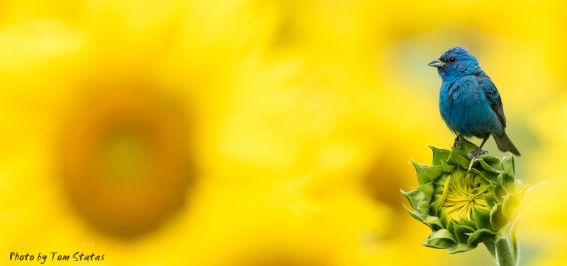 Indigo Bunting and Sunflowers by Tom Statas