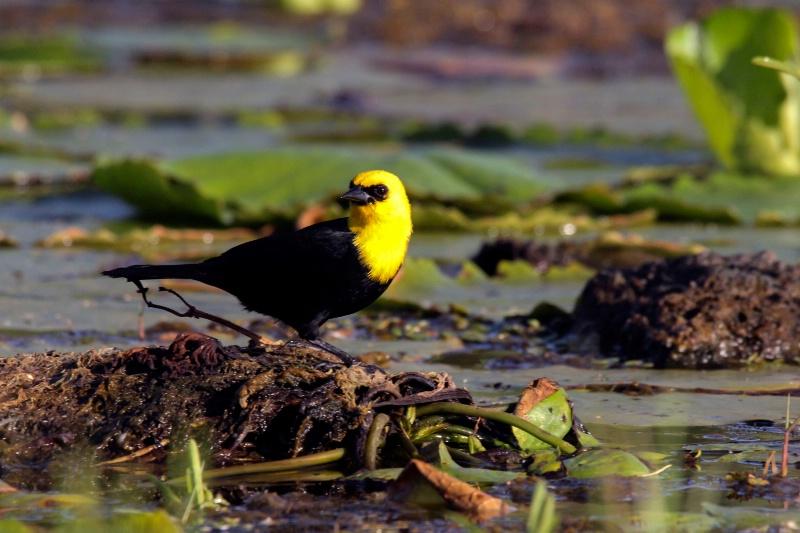 Yellow Headed Black Bird