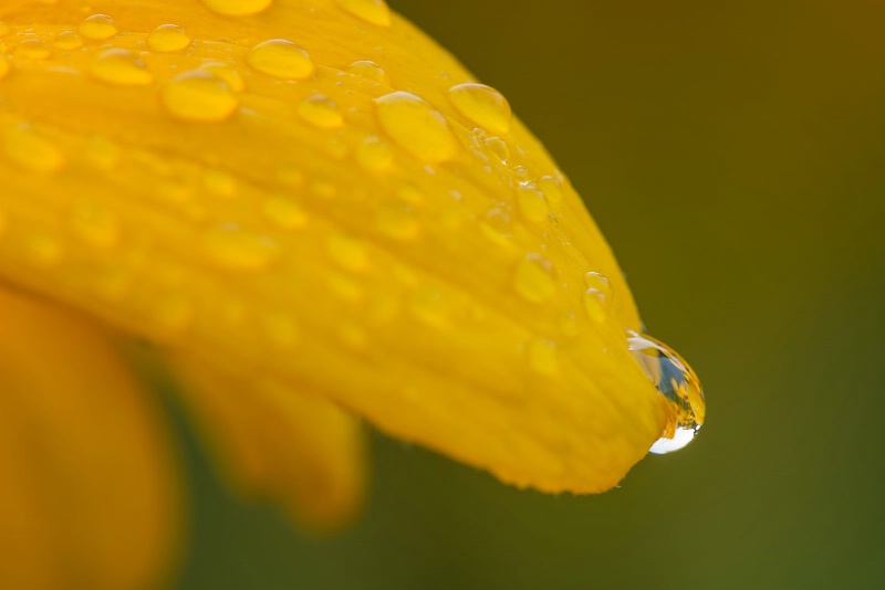 Daisies in a Dewdrop