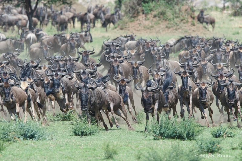 stampede of wildebeest  1