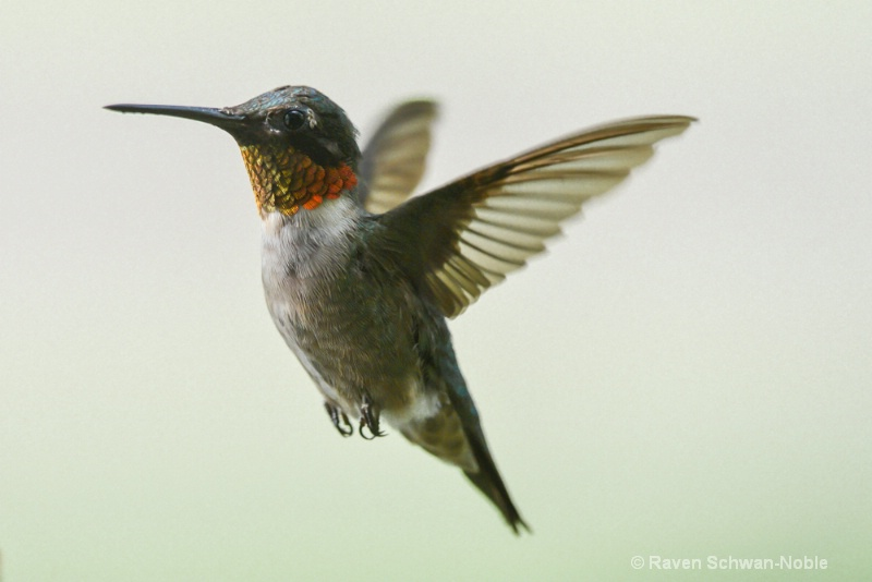 Ruby~throated Hummingbird 3