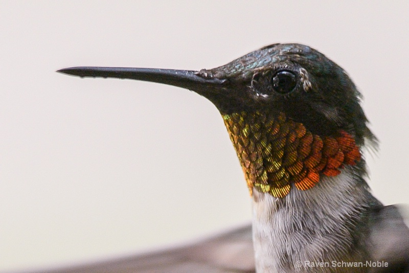 Ruby~throated Hummer up close