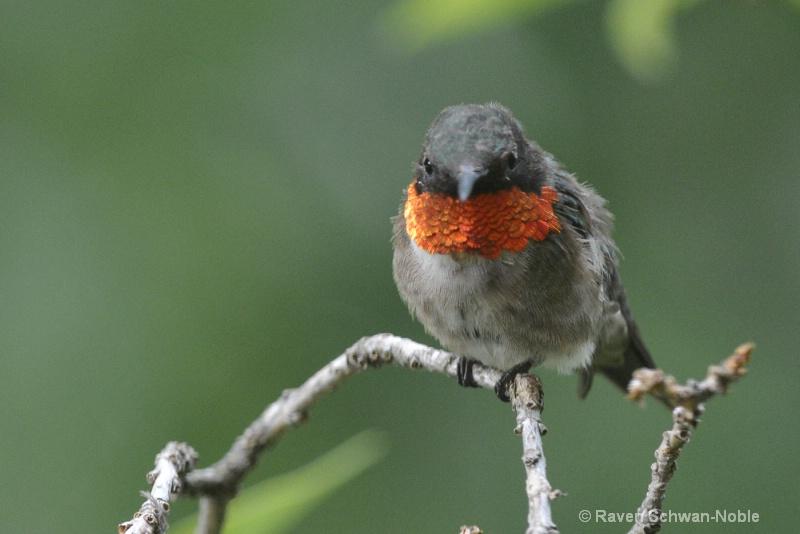 Ruby~throated Hummingbird male