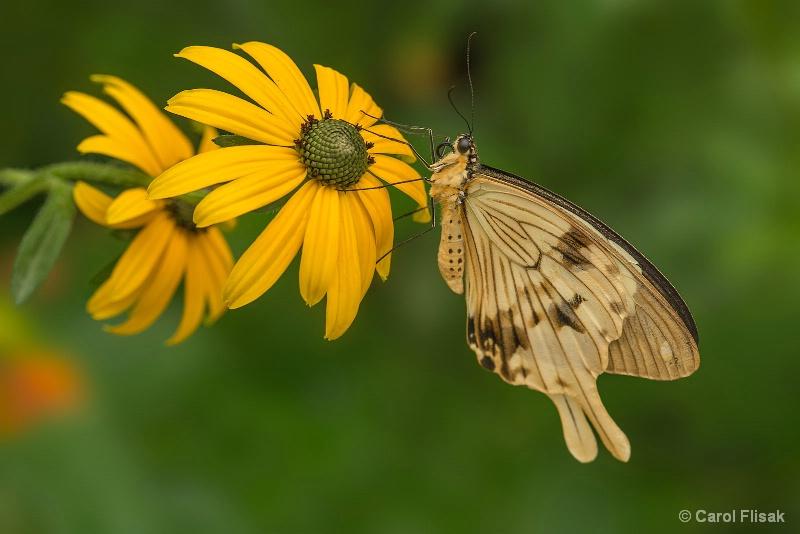 Mocker Swallowtail Sitting on Sunshine