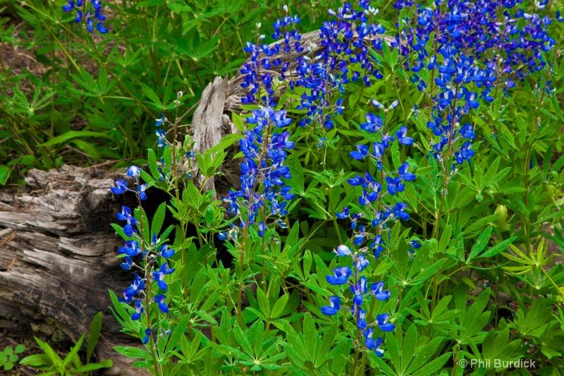 Cottonwood Pass Lupin Close-up