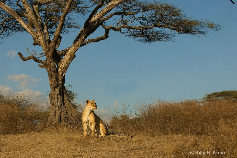 Lion by the Acacia Tree