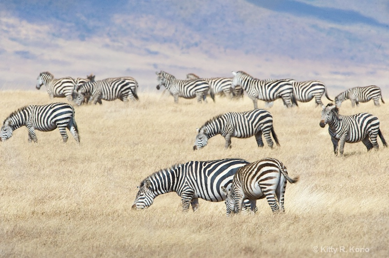 Zebras in Ngorongo Crater