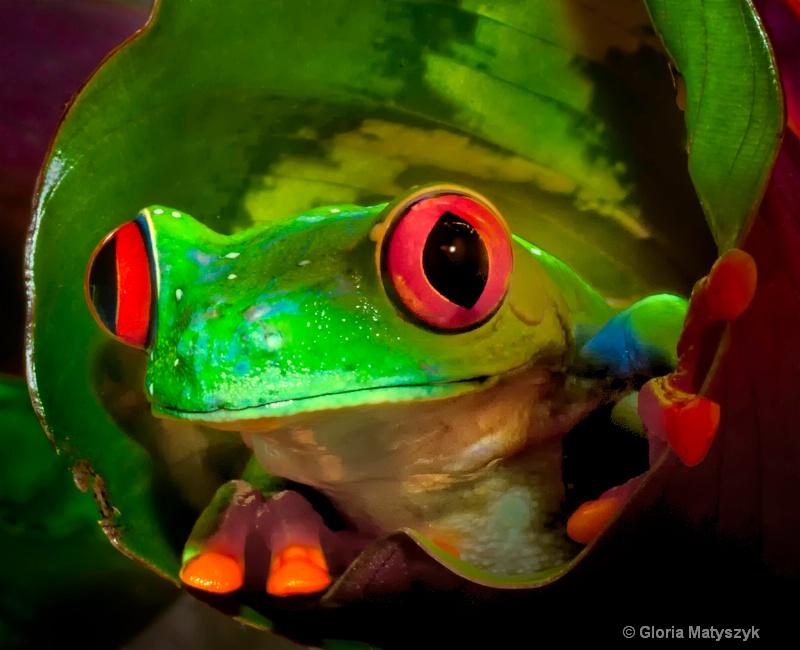Red eyed tree frog peeking from inside a leaf.