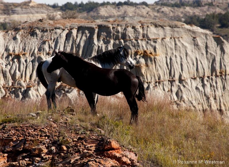 Wild stallion and mare