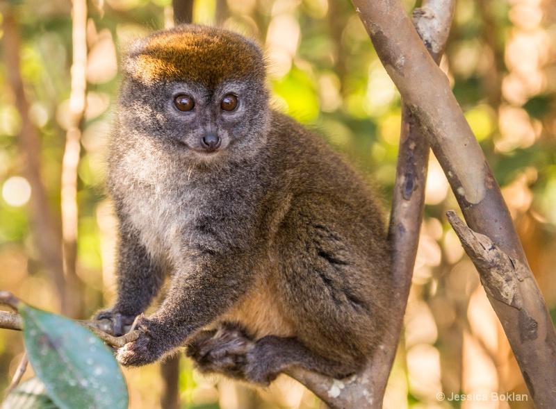 Eastern Gray Bamboo Lemur