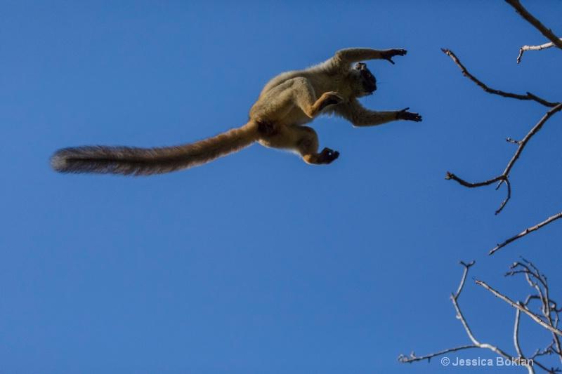 Leaping Common Brown Lemur