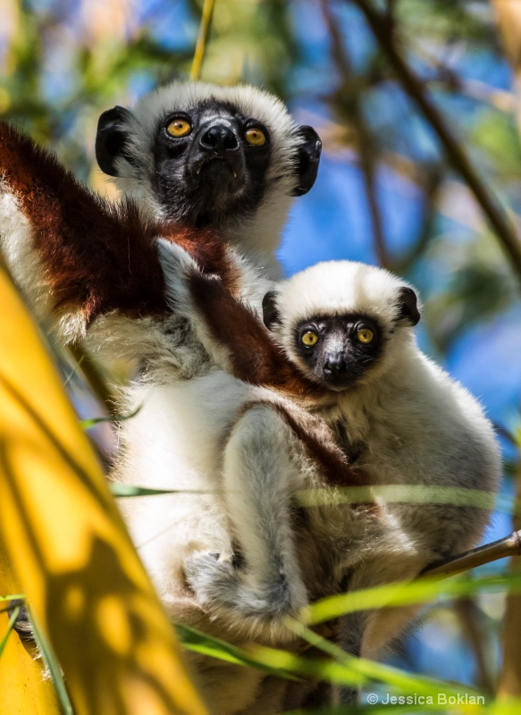 Mom and Infant Coquerel's Sifakas