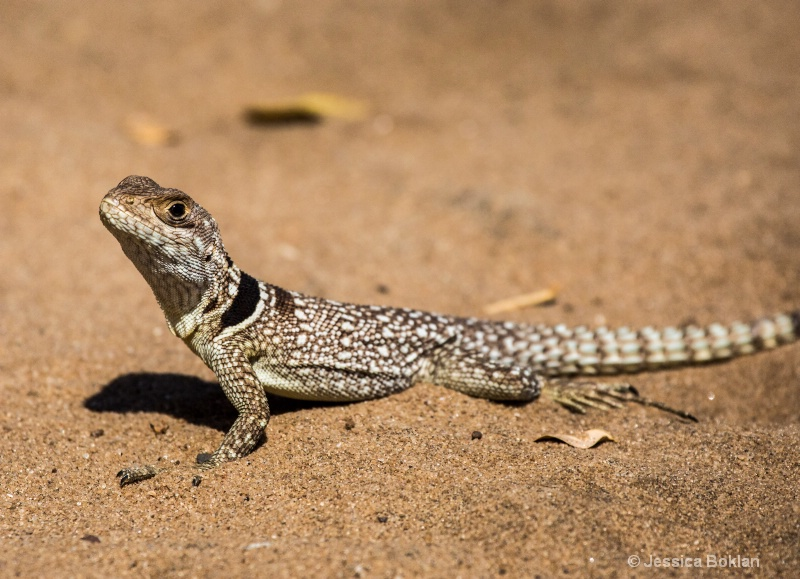 Collared Iguanid