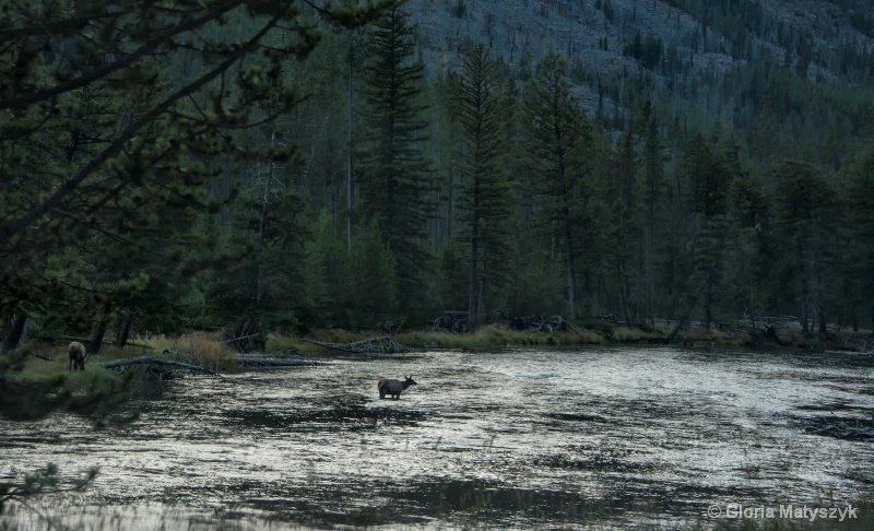 Elk in a sliver river, Yellowstone National