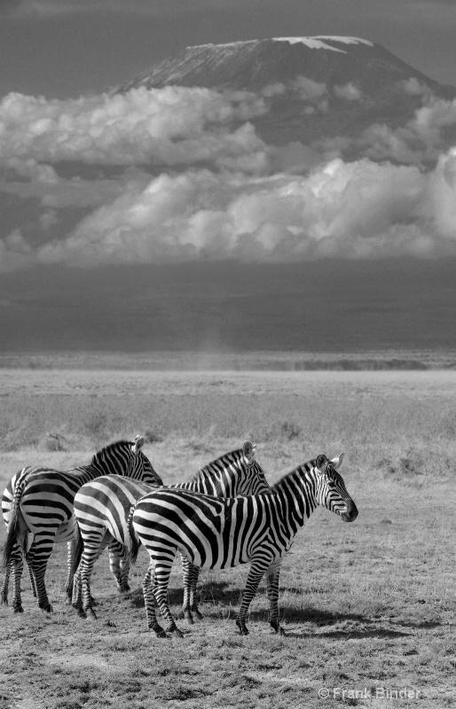 Zebras grazing under Mt. Kilimanjaro