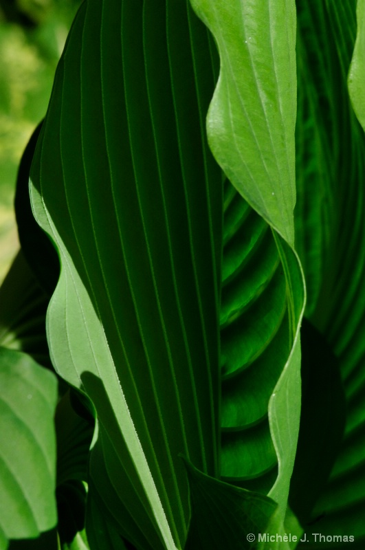 Hosta Leaves Partially Shaded !