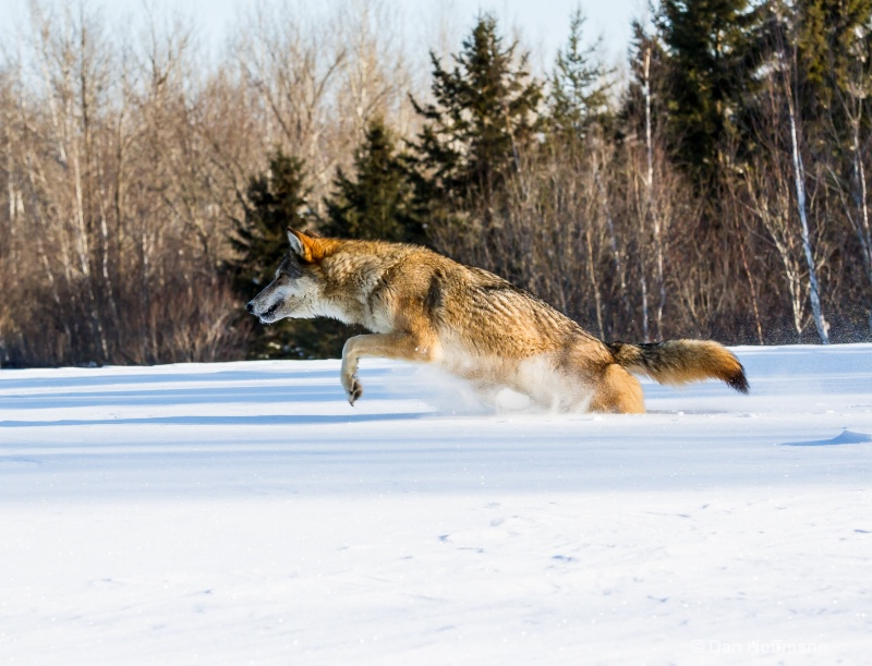 winter wolf photos 2014 036-5