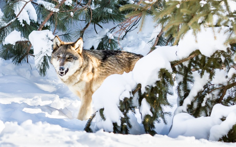 winter wolf photos 2014 151-35