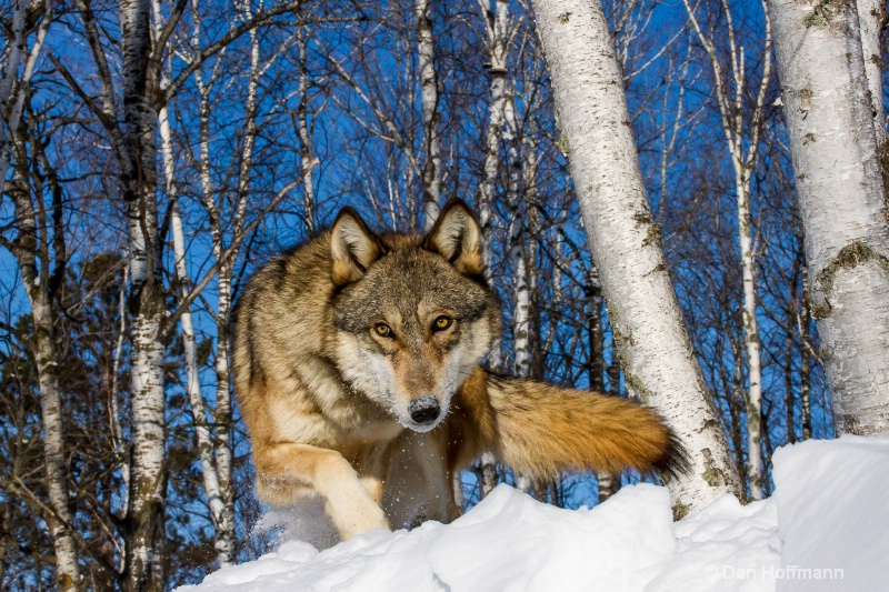 winter wolf photos 2014 431-134